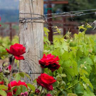 rosas-rojas-y-posts-de-madera-con-las-vides-en-el-viñedo-de-california-74652722